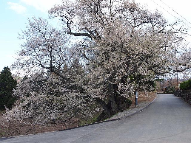 101関の桜