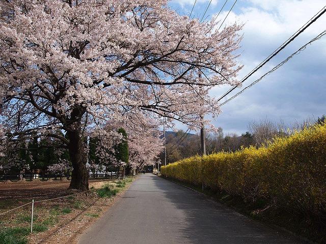 103眞原桜並木