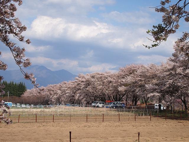105眞原桜並木