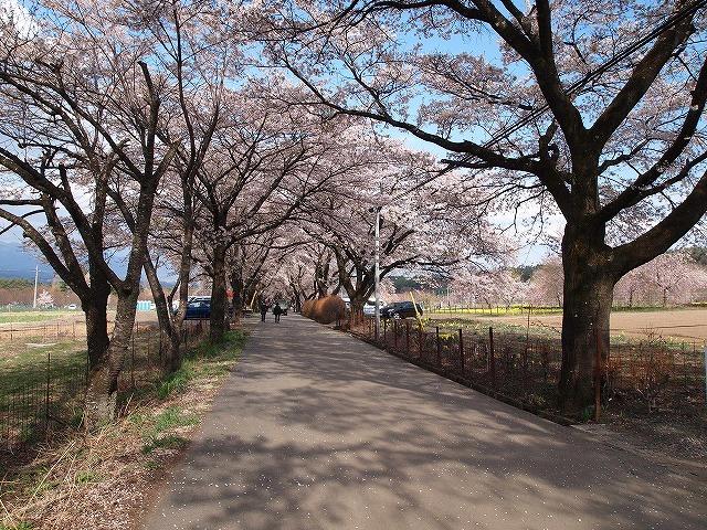 109眞原の桜並木