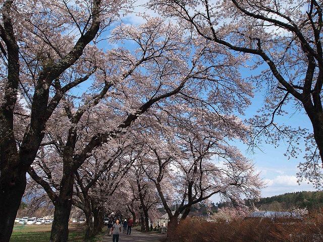 111眞原桜並木