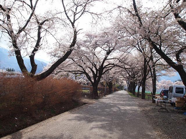 114眞原桜並木