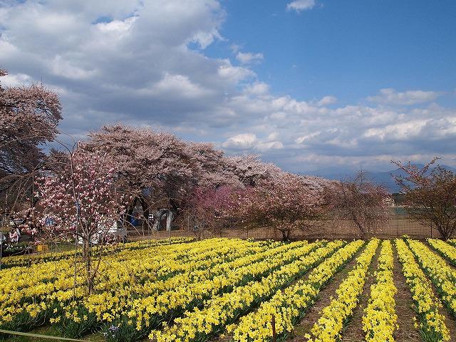 116眞原桜並木