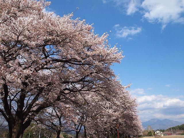 124眞原桜並木