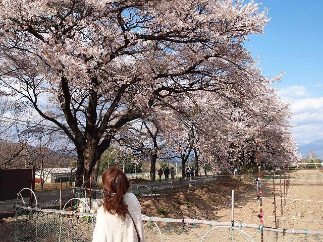 125眞原桜並木