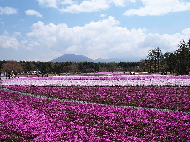 P5020231富士芝桜