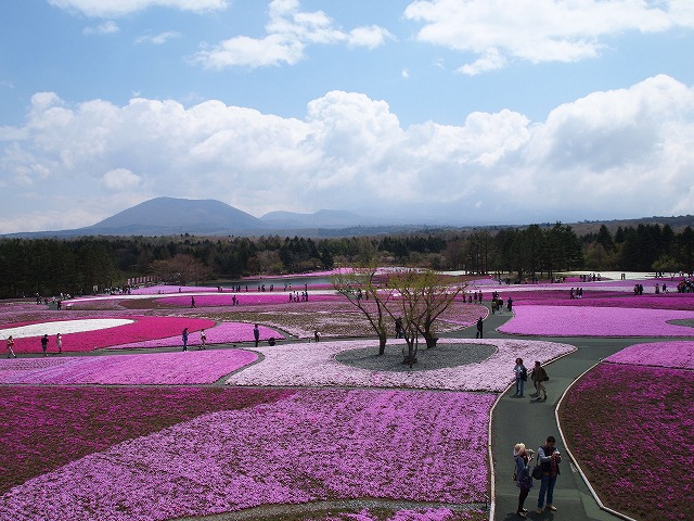 P5020234富士芝桜