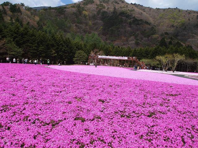 P5020229富士芝桜
