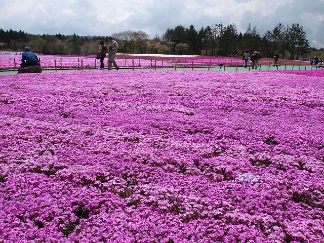 P5020242富士芝桜