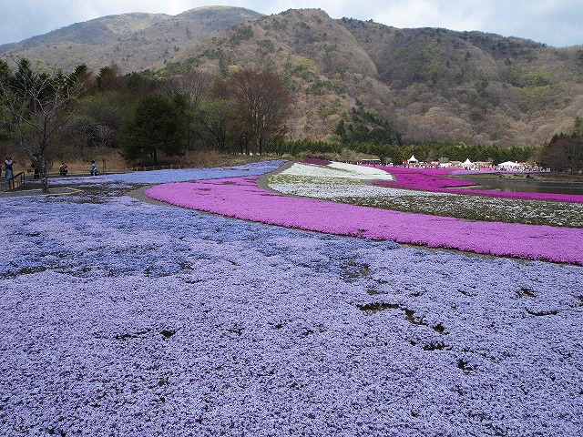 P5020248富士芝桜