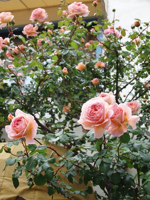 P5020292お友達のバラ