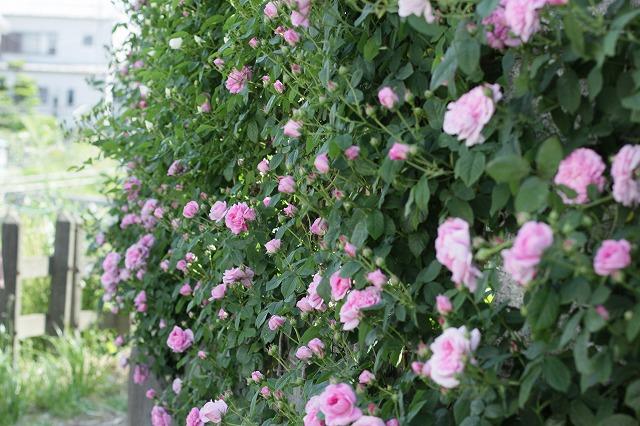 IMG_8499おじむくさんのお庭