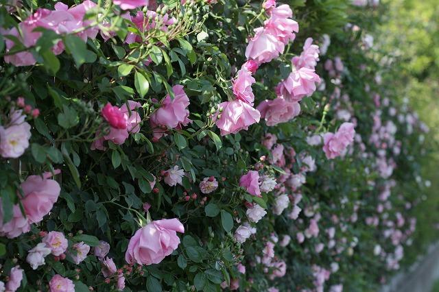 IMG_8507おじむくさんのお庭