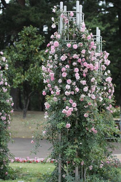 IMG_2468敷島バラ公園