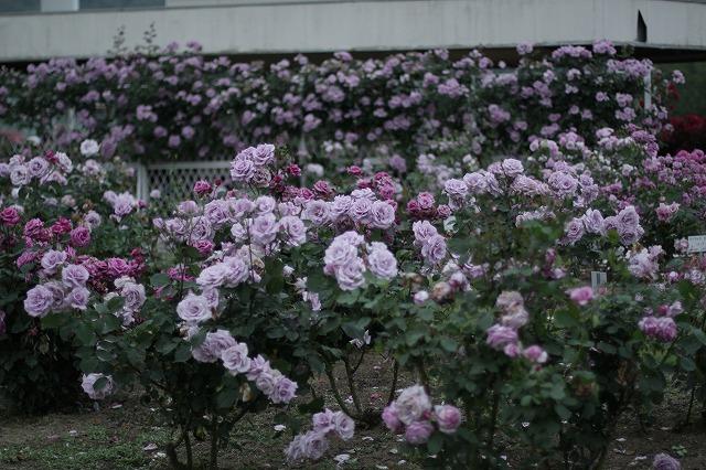 IMG_3439茨城県フラワーパーク