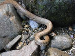 大平渓谷 ヘビ