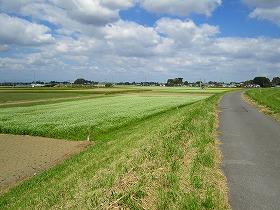 散歩コースの蕎麦畑