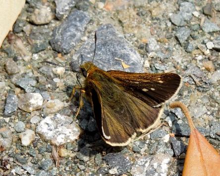 コチャバネセセリ102
