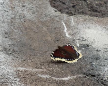 キベリタテハ