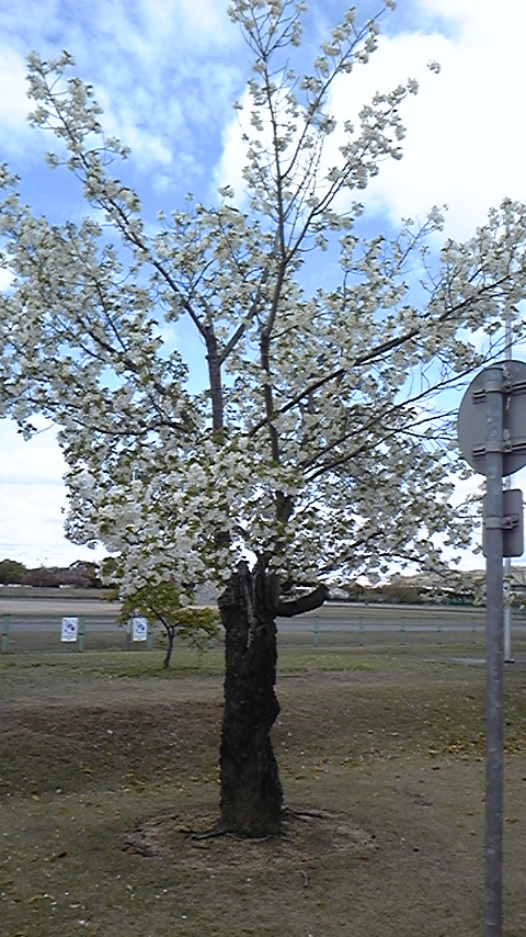 福田公園 桜