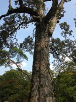 金閣寺 敷地 大木