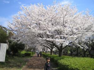 白根の団地の桜