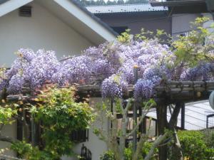 裏の家の藤の花
