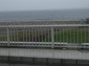 三浦海岸 カモメ大量発生