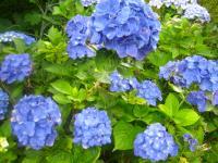箱根 青い紫陽花