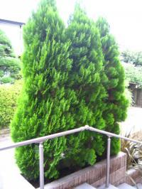 玄関の木の剪定 ビフォー