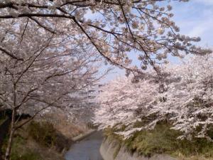 鶴ヶ峰の川沿い桜