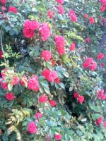 近所の花 小さいバラ