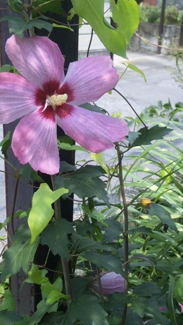 写真で散歩「2013宇都宮『夏の風景 フヨウの花』