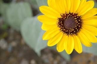 【写真で散歩】宇都宮では、まだ向日葵咲いてるんです!