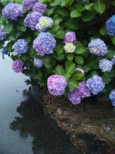 写真で散歩「恵みの雨だ!」宇都宮2013年6月13日 今日、夕方撮り立て【小雨の中のアジサイ】