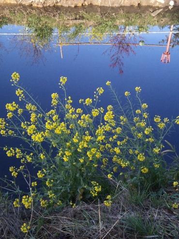 「写真で散歩」宇都宮の春【川辺の菜の花】