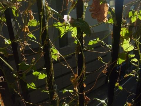アサガオ、さりげなく咲き続け…