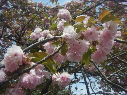 桜、そして