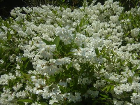 卯の花の季節