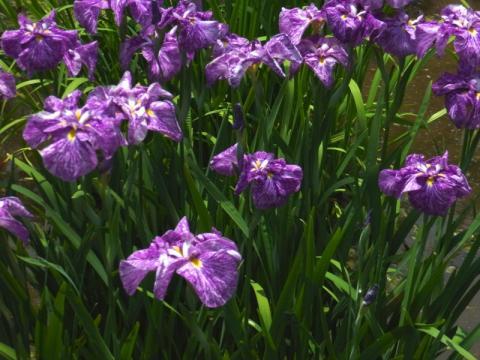 菖蒲の花もいろいろ