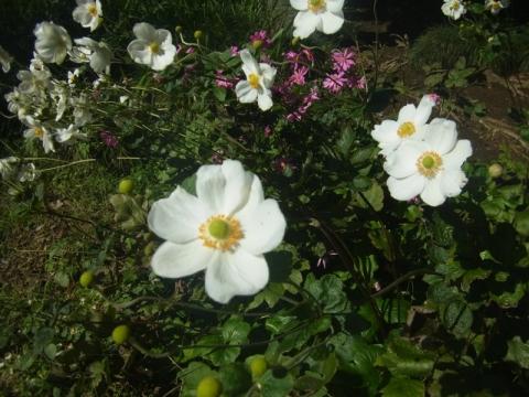 ホトトギス、咲いていました