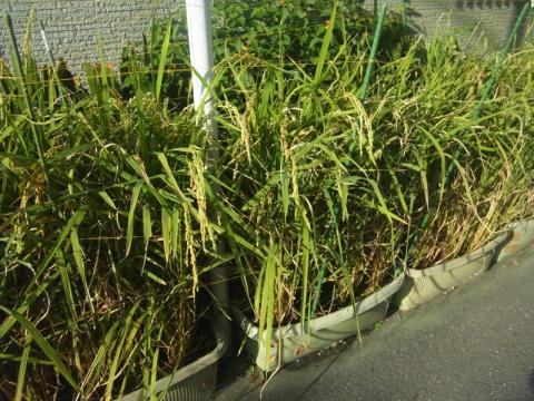 今年も稲が実ります