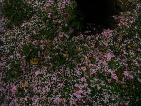 桜は終わりに