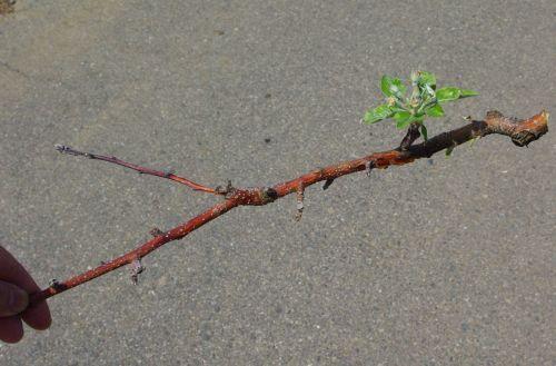 130419-腐乱病の枝