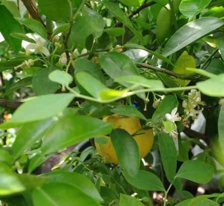 130521-グレープフルーツ