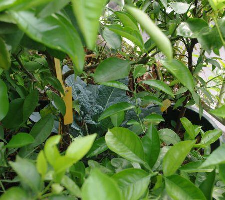 130603-茎ブロッコリー