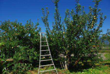 130917-りんご畑1
