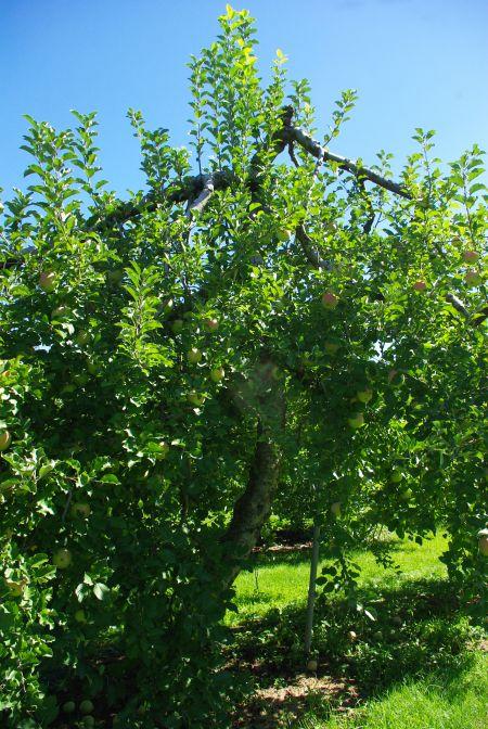 130917-矮化りんご