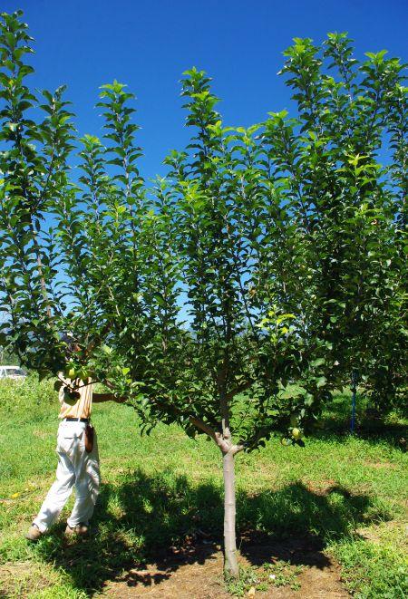 130917-りんご畑 こうとく