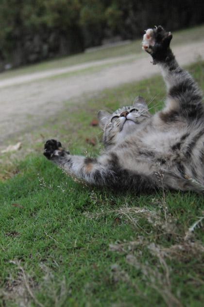 戯れるサバ白猫